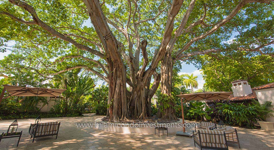 banyan tree located in the courtyard on Fisher Island
