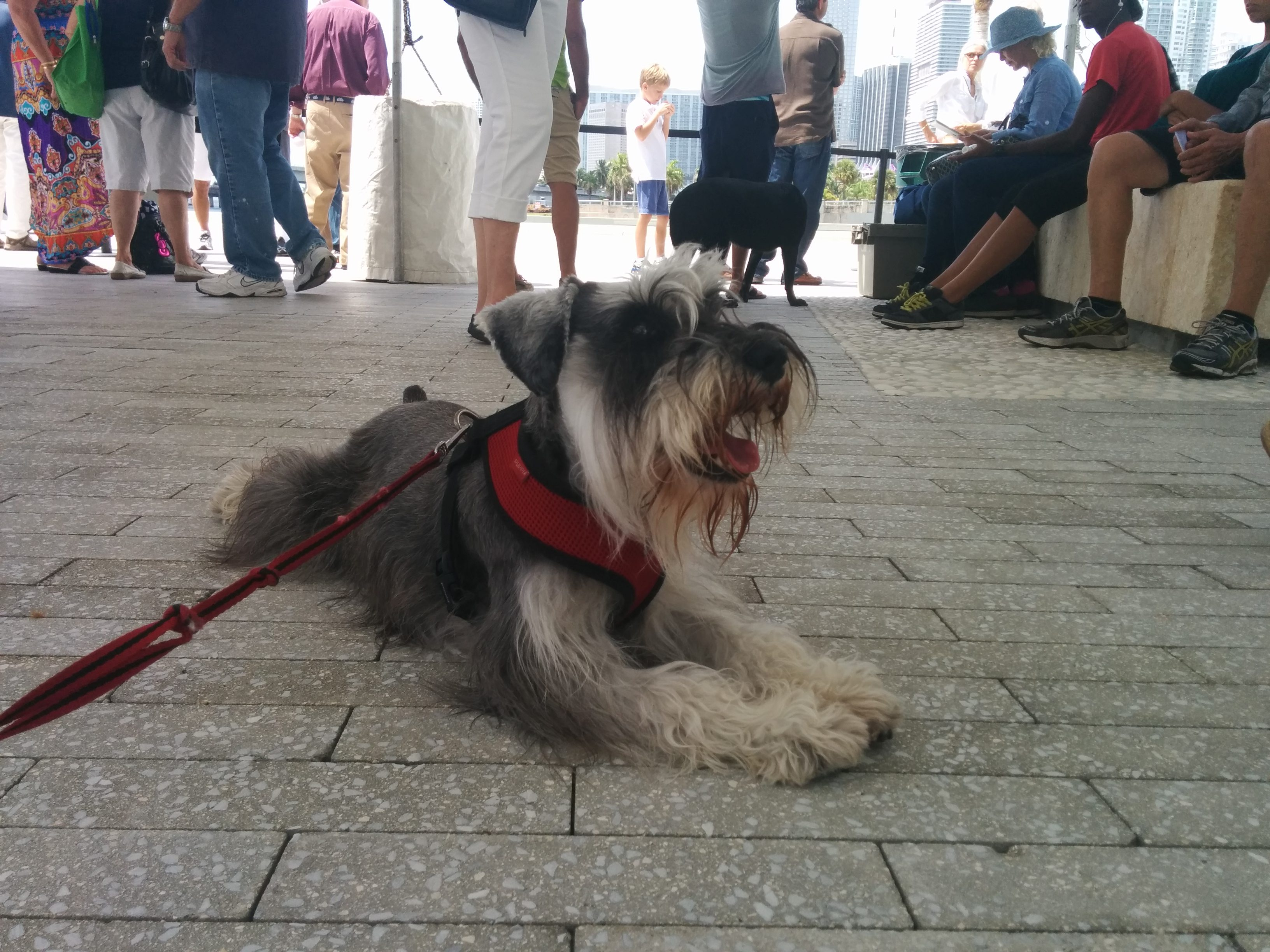 Lucky The Miniature Schnauzer